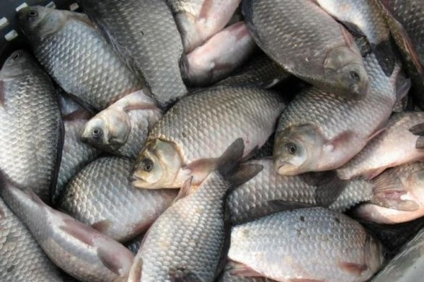 Russia: Citizens of Nizhny Novgorod will eat fish from South America