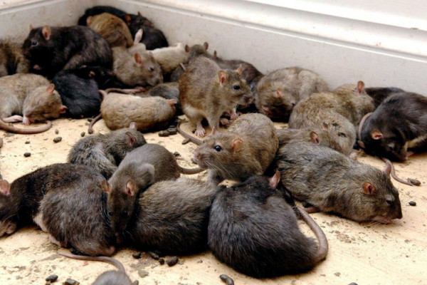 Rats are threatening citizens of Nizhny Novgorod, Russia